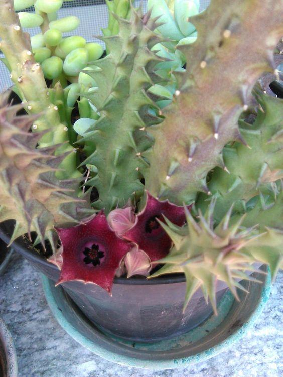 Fiori esotici di cactus dal giardino di Alba in Langhe#AlbaInLanghe #Langhe