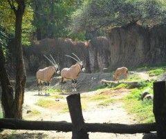 December 27 2013, new baby Gemsbok in Chapultepec Zoo (México City Mexico)
