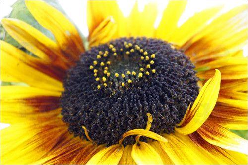 Sonnenblume Bilder: Poster von Emotion-Art bei Posterlounge.de