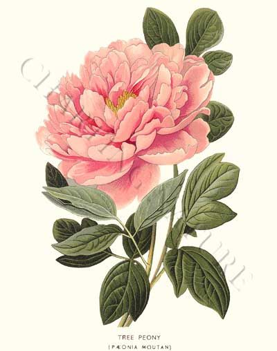 Trees, Flower prints and Peonies on Pinterest
