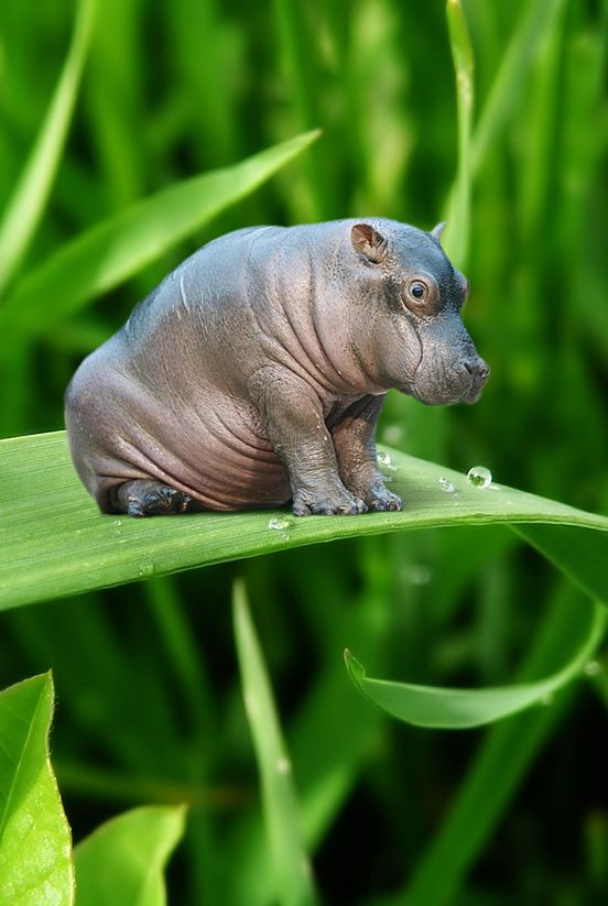 Cute hippo, I wish they really were this small, I would have a bunch of them in my backyard.