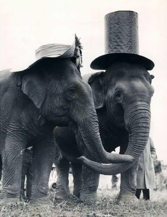 : Elephant Love, Sweet, Cute Couples, Elephant Couple, Fancy Elephants, Circus Elephant, Top Hats