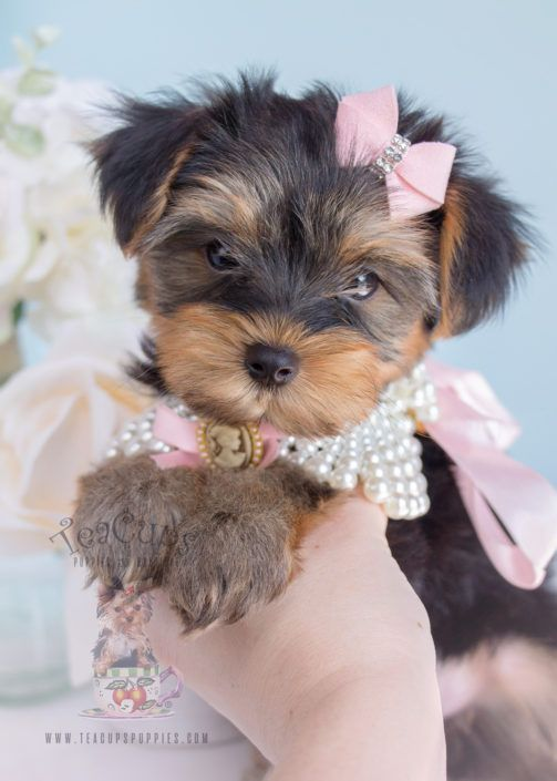 Toy Teacup Puppies For Sale Teacups Puppies Boutique Part 2 In 2020 Yorkshire Terrier Puppies Teacup Puppies For Sale Yorkie Puppy