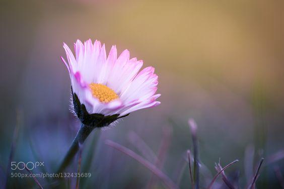 Daisy... by PeterSpellerberg
