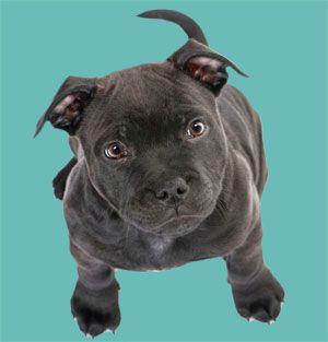 Abandoned Pit Bull Puppy Finds Forever Home | Dog Whisperer Cesar Millan