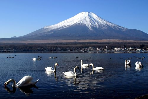 Swans in front of Mt Fuji, Japan