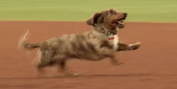 Sharing Is Caring00000A Lot If They Are In The Minor Leagues A minor league baseball team the El Paso Chihuahuas held a Wiener Dog Race before the game. You would think that would the highlight. The real fun starts about 1:05 into the video. You are going to laugh at this one I promise. Check Out …