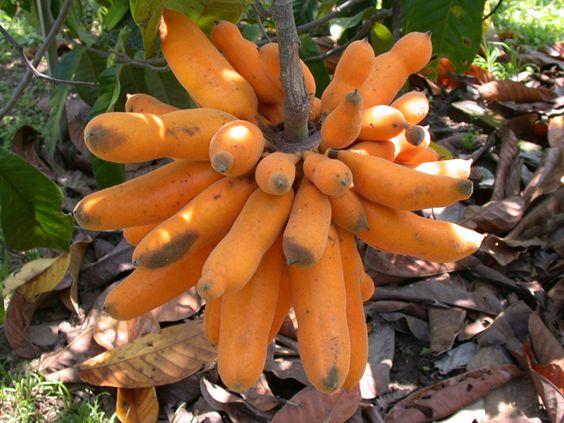 mature fruits of red uvaria grandiflora native of thailand custard apple family sweet apple thailand office