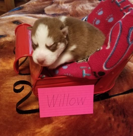 Willow Puppies For Sale Puppy Adoption Puppies