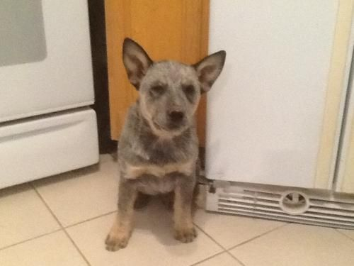 Palo Alto Ca Jam Is A Female Australian Cattle Dog Blue Heeler Mix Puppy Searching For Australian Cattle Dog Blue Heeler Animal Rescue Australian Cattle Dog