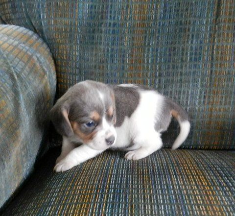 English Pocket Beagles 2 Love By Studio Dg Beagle Puppy Pocket