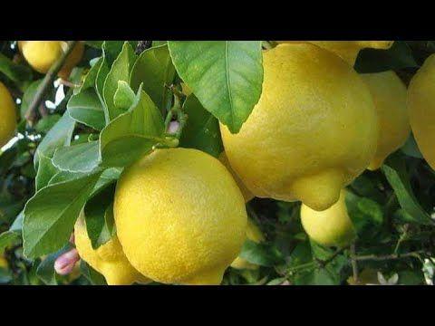 اسرار شجرة الليمون الشهري Youtube Fruit Lime