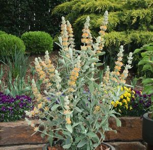 Buddleia Orange Sceptre (ORANGE SCEPTRE BUTTERFLY BUSH)