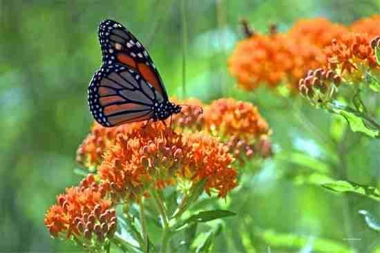 asclépiade tubéreuse fleur papillon résistante sécheresse