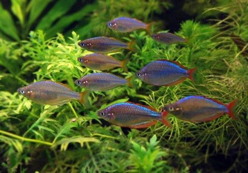 Teczanka Neonowa Ruda Slaska Bykowina 7425615491 Oficjalne Archiwum Allegro Fish Tank Plants Freshwater Aquarium Rainbow Fish