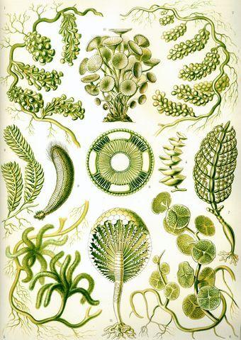 Ernst Haeckel - Green Algae