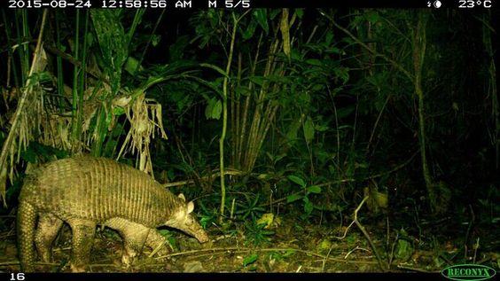 – A giant armadillo (Priodontes maximus) captured by a camera trap in the Ecuadorian Amazon. CREDIT: WCS Ecuador Program.