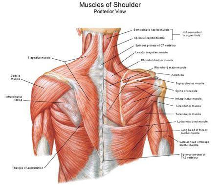 Back muscles anatomy chart