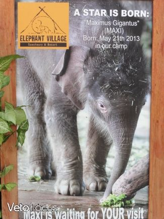 Maxi, éléphanteau de presque deux ans et qui pèse dans les 500kg.