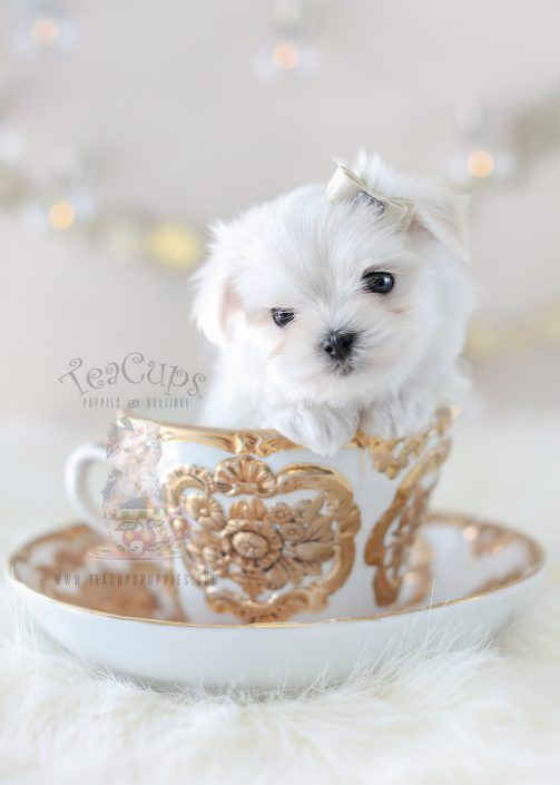 Gorgeous Maltese Puppy By Teacup Puppies Boutique Home Raised And Locally Bred In Sunny South Florida Teacup Puppies Teacup Puppies Maltese Maltese Puppy