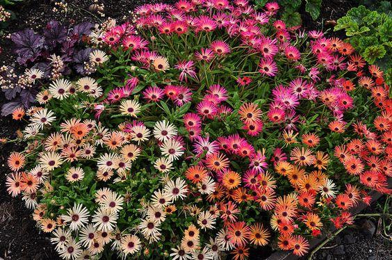 Walled-garden, Glamis Castle, comté d'Angus, Ecosse,Grande-Bretagne, Royaume-Uni. #ficoides