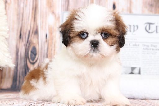 Shih Tzu Puppy For Sale In Bel Air Md Adn 69495 On Puppyfinder