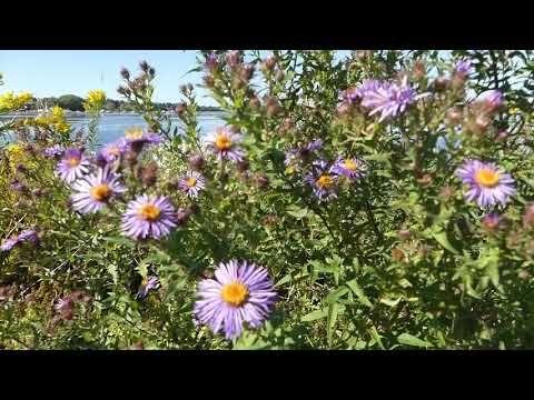 8 Top Medicinal Uses Benefits Of Artemisia Vulgaris Mugwort Wildturmeric Mugwort Artemisia Plant Ayurvedic Plants