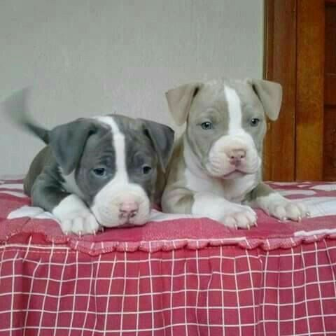 Reallycutebabypuppies Really Cute Puppies Pitbull Puppies Puppies