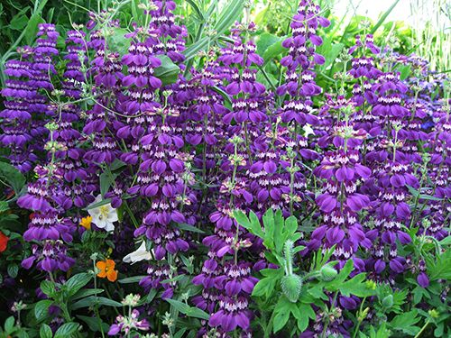 Collinsia species 39 purple 39 chinese purple houses l for Purple flower shrub california