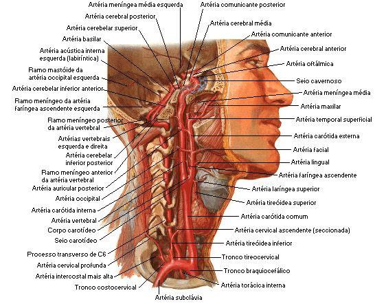 Vascularizacao Em 2020 Anatomia Cabeca E Pescoco Implantodontia