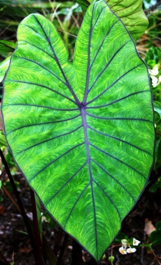 """Colocasia 'Blue Hawaii'; • Zone 7b-11. (5°F or -14°C).  • Large green leaves with prominent bluish-purple veins.  • An undulating bluish-purple margin, matte finish and semi-glossy dark burgundy colored petioles (stems).    • Medium height 48"""" at maturity.  The Royal Hawaiian® Colocasia series features varieties unlike any available in today's market. The Royal Hawaiian® Colocasias have been bred to be sturdy garden performers and container specimens."""