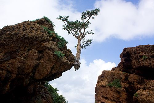 A remarkable specimen of the frankincense tree (Boswellia sp.) grips the edge of a rock on the island of Socotra. The aromatic resin of these trees is much sought after for the production of incense, perfume and pharmaceuticals. The boswellic acids contained in the resin show promise as a treatment for asthma and other inflammatory conditions. | +