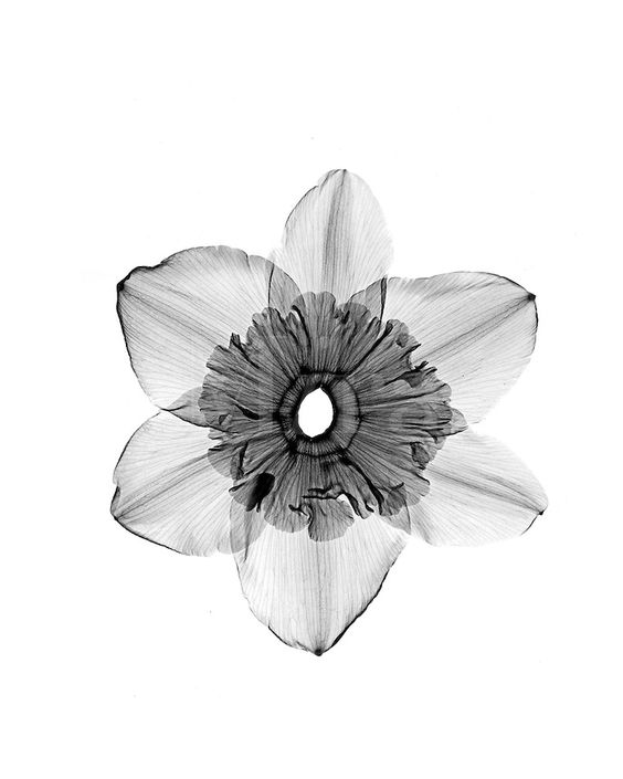 December Birth Flower Tattoo Black And White: Xray Open Daffodil Blossom