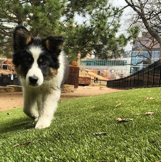 Puppy cuteness at Loring Dog Park - Minneapolis, MN - Angus Off-Leash #dogs #puppies #cutedogs #dogparks #minneapolis #minnesota #angusoffleash: