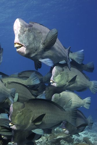 School of Bumphead Parrotfish . Watch this incredible 2 min video about this Parrotfish on BBC . http://www.parrotfishjourney.com/