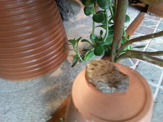 Update on the indoor tree frog that lives in my plants. Doing very well on crickets and mealworms.