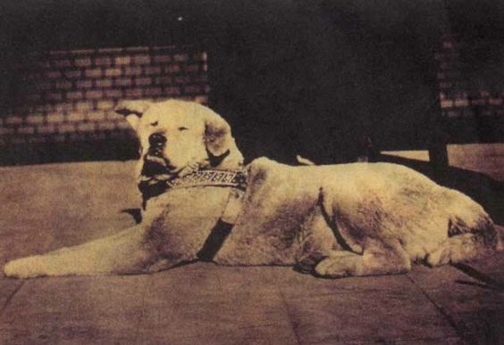 hachiko as an old stray still wearing his harness