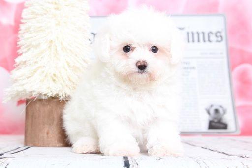 Poochon Puppy For Sale In Bel Air Md Adn 70531 On Puppyfinder