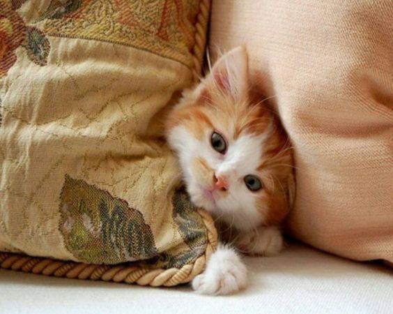 Petit Chat caché derrière un coussin