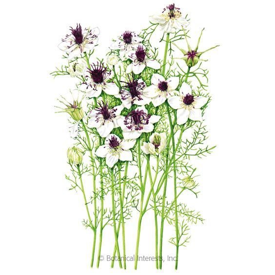 Chocolate And Cream Love In A Mist Seeds