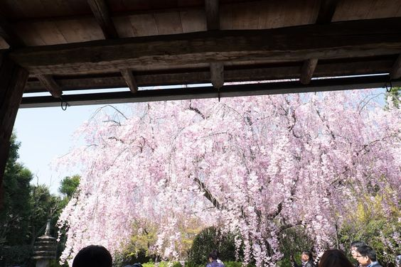 Cherry blossoms at Taizo temple in Kyoto