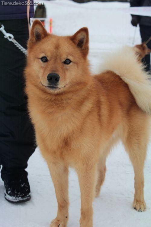 Aussergewohnlich Finnische Spitzhunderassen Spitz Dog Breeds Dog Breeds Spitz Dogs