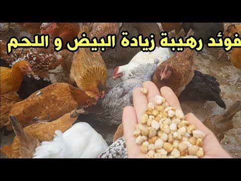 Pin On تربية الدجاج
