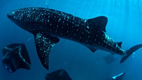 Whale shark and Manta ray - Maldives Dive Tours