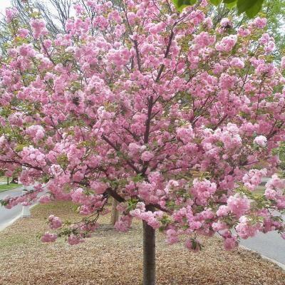 Kwanzan Japanese Cherry Prunus Kanzan The Home Depot Community