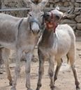 13 things to do in Aruba - Donkey Sanctuary #aioutlet