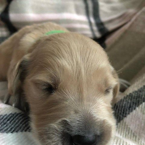 Akc Beautiful Kiwi Girl In Wi Il Golden Retriever Golden Retriever Dogs For Sale Golden Retriever Puppy