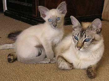 Balinese Cat & Kitten