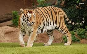 Image result for tiger hiding in grass