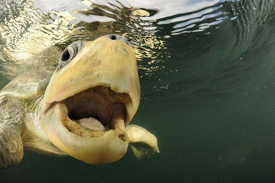 Diese Meeresschildkröte ist auf dem Weg in den Kreißsaal. Kein sonderlich intimer Ort. Denn ihre Eiablage am Strand von Ostional, Costa Rica, wird die werdende Mutter gemeinsam mit einigen Hunderttausend Artgenossinnen hinter sich bringen. Innerhalb weniger Tage. Und unter Zeugen, die Hunger haben ... (Foto von: Solvin Zankl)